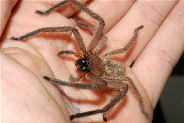 Full-grown male spiders can have a diameter (legs) of 10-12 inches about the size of a dinner plate. Some people confuse them with tarantulas because of ... & 5 Scariest Bugs in Japan \u2013 Just Japan Stuff
