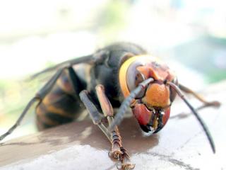 japanese-giant-hornet-580x435
